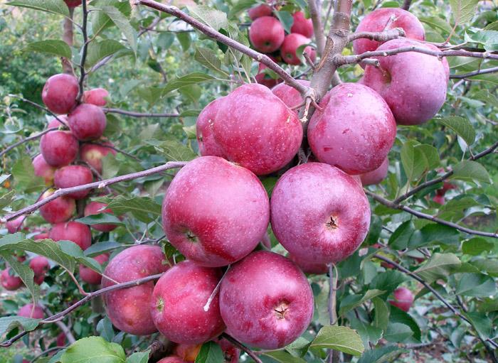 Районовані сорти яблуні на київщині